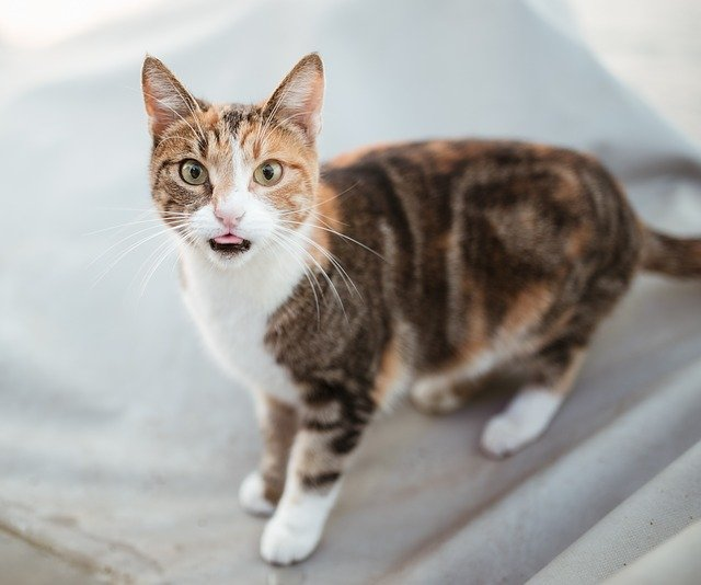 My Cat was Diagnosed with Hyperthyroidism What do I do Now?