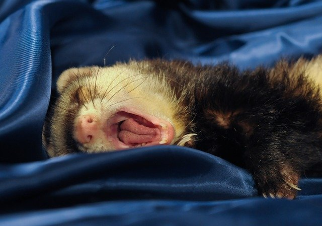 It's not normal for ferrets to be lethargic. It might have one of several common diseases.